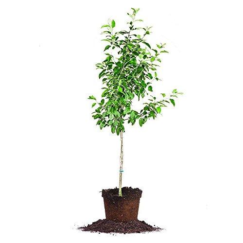Granny Smith Apple Tree - Size: 5-6 ft, Live Plant, Includes Special Blend Fertilizer & Planting ()