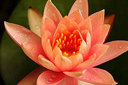 Futaba Orange Bowl Lotus Seeds 5 Pcs Amazonin Garden Outdoors