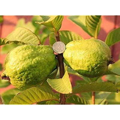 "AchmadAnam - Live Plant - Vietnamese Guava - 1 Starter Plant - 1 Feet Tall - Ship in 6"" Pot. E9 : Garden & Outdoor"