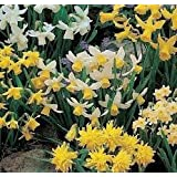 50 x Mixed Rockery Narcissi Bulbs - Pack includes ' Tete a Tete ' - FREE UK P & P