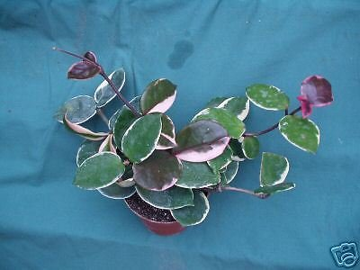 hoya-carnosa-tricolor-superb-form-three-or-more-rooted-plants-in-a-4-pot