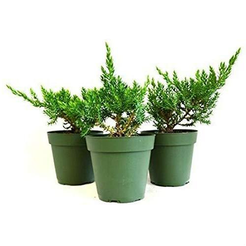 3 Juniper Nana Bonsai Starter Live Plant 3 Pound Pack of 3 Pot Harmony Procumbens - USA_Mall