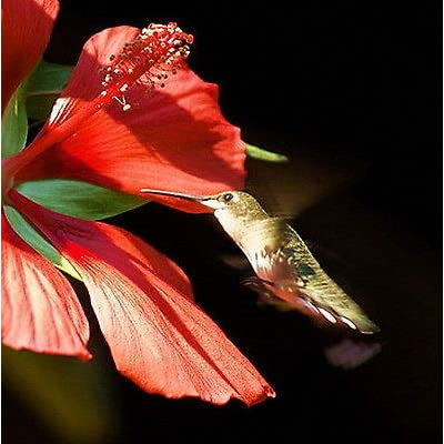 40 + Seeds | Giant Red Texas Star Hibiscus | Hummingbirds Love | Hardy to 6 : Garden & Outdoor