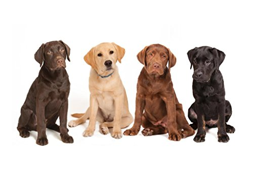 - Variety Four Different Colored Labrador Puppys Photo Art Print Mural Giant Poster 54x36 inch