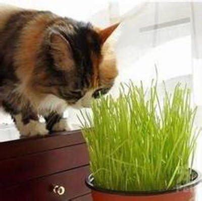 100 unidades / bolsa Semillas Hierba, gatitos gatos les gusta comer trigo hierba pueden ser cosechadas repetidamente semillas de trigo: Amazon.es: Jardín