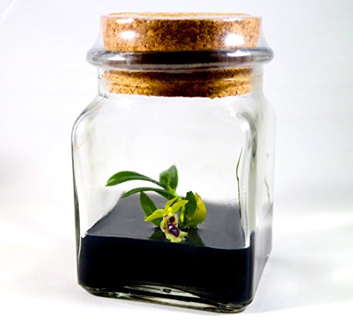 Live Orchid Terrarium, Haraella retrocalla, Rare Orchid, Zero Maintenance, Watering free, Miniature Garden. No Green Thumb Needed, Great Gift!