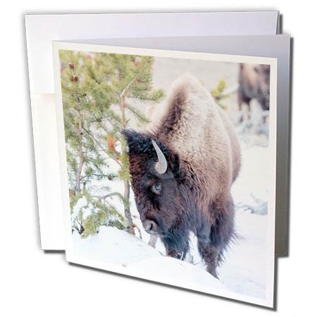 3dRose Danita Delimont - Bison - Buffalo in snow. Yellowstone National Park. Wyoming. - 12 Greeting Cards with envelopes (gc_279854_2)