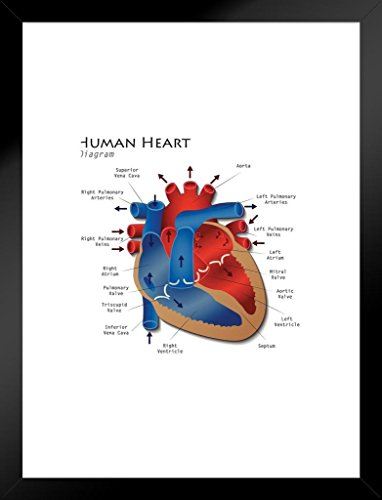 Poster Foundry Human Heart Diagram Anatomy Diagram Educational Chart Matted Framed Wall Art Print 20x26 - A Heart Diagram Of