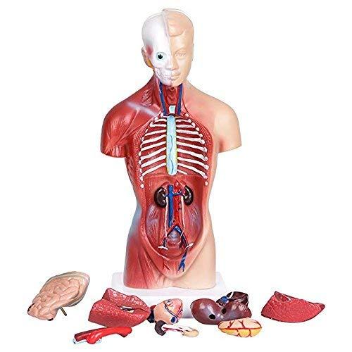 Human Torso Body Anatomy Model Medical Students Skeleton Visceral Male 11inch