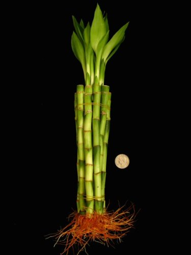 KL Design & Import - 50 Stalks Of 8 Inch Straight Lucky Bamboo For Feng Shui Or Gifts