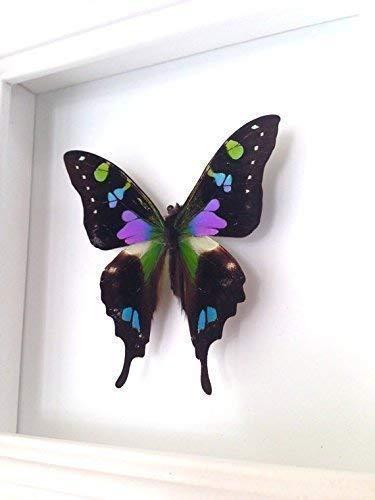 wallowtail Butterfly Display Taxidermy Art ()