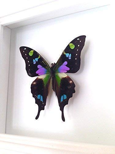 Real Purle Spotted Swallowtail Butterfly Display Taxidermy Art