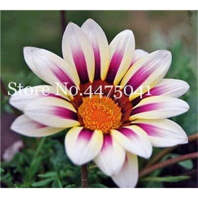 Kasuki 100 Pcs Gorgeous Gazania Rigens Bonsai, Rare Beautiful Flower Plant Popular Africa Bonsai for DIY Home Garden Supplies Bonsai - (Color: 14): Garden & Outdoor