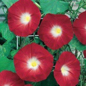 Non GMO Bulk Morning Glory, Scarlet O'Hara Flower Seeds