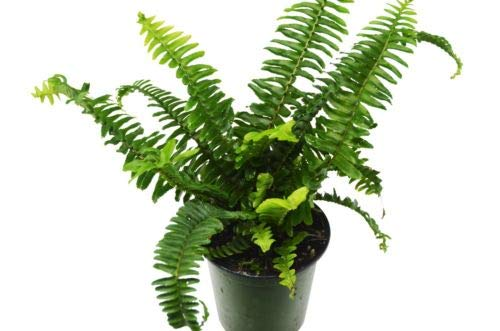 Jester's Crown Fern - Live Plant -4
