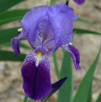 10 Pretty Bearded Iris, Reblooming German Iris, Purple, Fresh Root, Rhizome, Plant, Easy to Plant