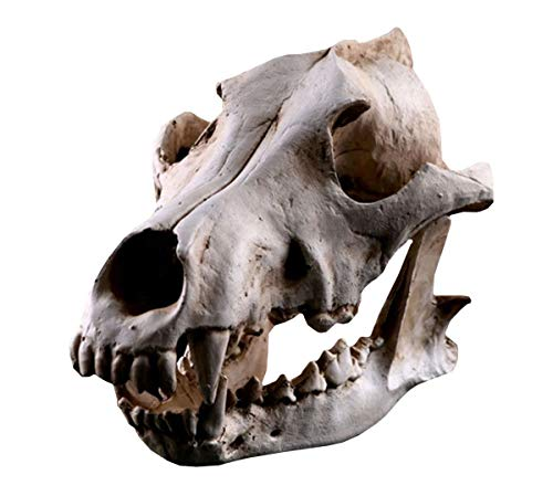 [ワズチヨ] 骨 模型 狼 頭蓋骨 オオカミ 頭部 動物 実物大 顎関節 可動 タイプ おもちゃ 標本 レプリカ オブジェ 動物フィギュア 11×22×12㎝の商品画像