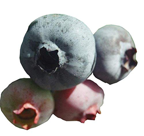 Premier Blueberry Bush - Edible Fruit Berry - Hardy Perennial - Gallon Potted - 1 Plant by Growers Solution