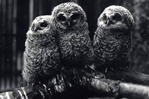 - ArtEdge Three Young Tawny Owls Sit on a Branch by Frederick William Bond, Photographic Print, 16 x 24 in