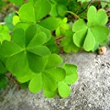 30pcs Four Leafs Clover Lucky Plants Yellow Flower Seeds