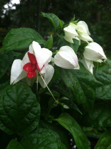 CLERODENDRUM - THOMSONIAE - BLEEDING HEART VINE - 1 PLANT - 4