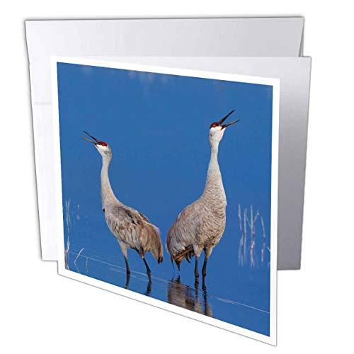 Calling Crane - 3dRose Danita Delimont - Birds - Sandhill Cranes Calling - 12 Greeting Cards with envelopes (gc_313967_2)