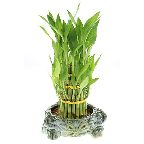 Three Tiered Lucky Bamboo Tower in Decorative Elephant Pot (Three Elephants) ()