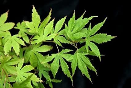 Amazon.com: Tiny Leaf – Arce japonés Mini Mondo con 3 – año ...