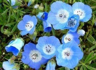 David's Garden Seeds Wildflower Nemophila Baby Blue Eyes DGS3231 (Blue) 1000 Open Pollinated Seeds