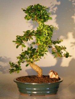 Fukien Tea Flowering Bonsai Tree - Extra Large Curved Trunk Style by Bonsai Boy