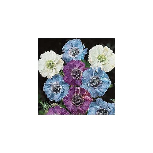30+ Isaac House Mix Scabiosa / Pincushion Flower Seeds / Perennial