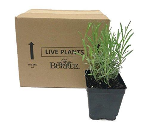 Burpee Perennial Lavender 'Phenomenal', 4'' pots, 1 plant, Fragrant, Evergreen, Pollinator Friendly by Burpee (Image #4)