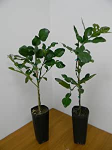 "Kieffer (Makrut, Thai) Lime Tree in 4x10"" pot (Citrus histrix)"