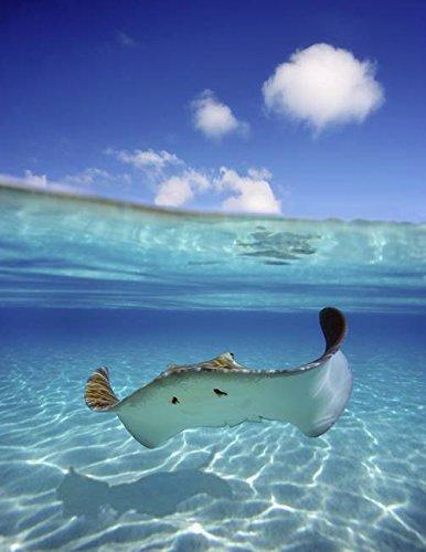 Wall Art Print entitled French Polynesia, Tahiti, Bora Bora, Stingray In B by Design Pics | 8 x - Ray Crystal Pics