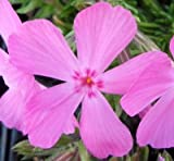 Classy Groundcovers - Phlox subulata 'Drummond's Pink' {24 Pots - 3 1/2 in.}