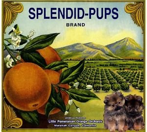 Amazoncom Magnet Marshall Canyon Pomeranian Dog Spendid Pups