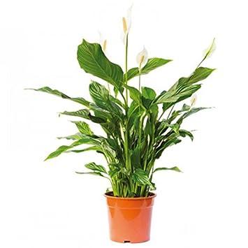 Spathiphyllum wallisii - Plantas naturales para acuarios: Amazon.es ...