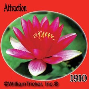 Attraction Live Hardy Water Lily Plant