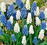 (5) Muscari Armeniacum Blue & White Mix, Beautiful Flowers, Blooming Sized Bulbs, Easy to Grow