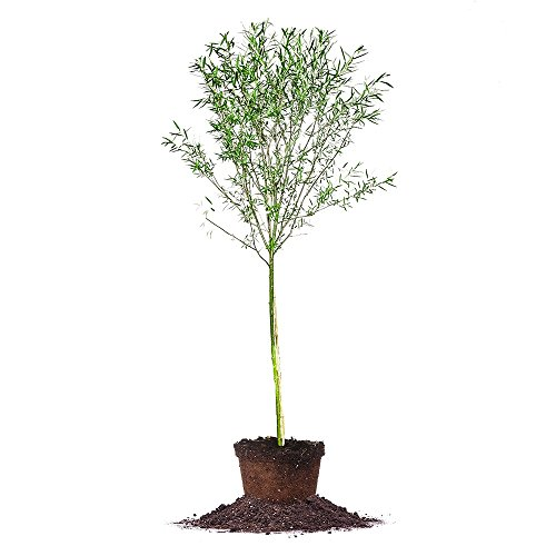 Weeping Willow - Size: 4-5 ft, Live Plant, Includes Special Blend Fertilizer & Planting Guide by PERFECT PLANTS (Image #1)
