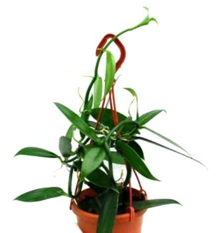 1 blühfähige Orchidee der Sorte: Vanilla planifolia, 12cm Topf