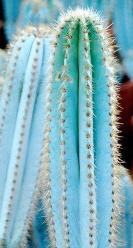 BLUE COLUMNAR CACTUS (Pilosocereus pachycladus) 10 seeds