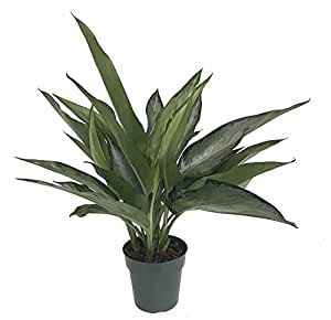 "Silver Bay Chinese Evergreen Plant - Aglaonema - Low Light - 6"" Pot"
