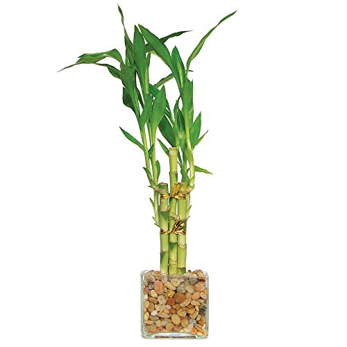 Brussel's Lucky Bamboo 5 Stalk Straight - Small - (Indoor)
