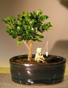 Bonsai Boy's Flowering Dwarf Plum Bonsai Tree Water Land Container - Small carissa macrocarpa ()