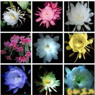 Zlking 10 Epiphyllum Nightblooming Cereus Home Garden Flower Plants Garden Pots & Planters Bonsai