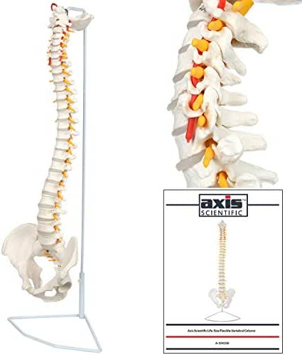 Axis Scientific Flexible Spine Model - Life Size Spinal Cord Model With Vertebrae, Nerves, Arteries, Lumbar Column, and Male Pelvis - With Stand, Detailed Product Manual and Worry Free 3 Year Warranty