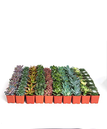 Shop Succulents| Assorted Collection of Live SucculentPlants, Hand Selected Variety Pack of Mini Succulents | Collection of 128 in 2'' pots by Shop Succulents (Image #1)