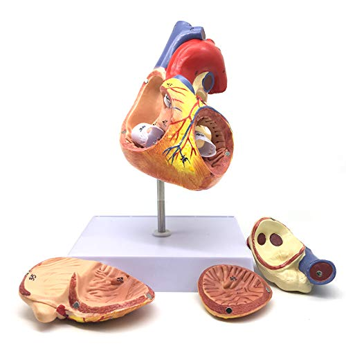 2X Enlarged Human Heart Anatomical Model,Anatomically Accurate Heart Model Human Skeleton Anatomy for Science Classroom Study Display Teaching Medical Model
