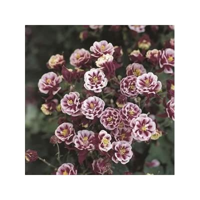 (10 Count Flat of 1 Liner Pots) 'Winky Double Red & White', Double Columbine (Perennial) : Garden & Outdoor